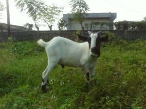 kambing aqiqah bekasi